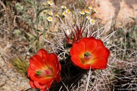 Mojave Mound Cactus Two Flowers