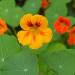 Nasturtiums on Ennisbrook Trail in Montecito