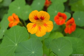 Nasturtiums on Ennisbrook Trail in Montecito, California